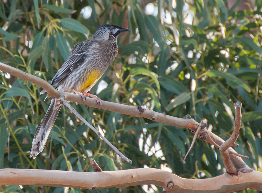acacia-birds-red-wattle-bird2_MWM8707