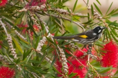 acacia-new-holland-honey-eater_MWM9152