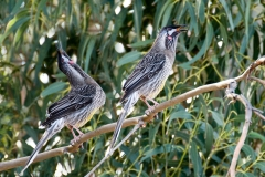 acacia-red-wattle-bird
