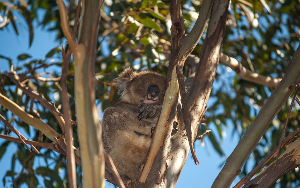 kangaroo-island-koala-in-tree_MWM3924