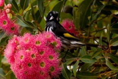 kangaroo-island-honey-eater_MWM2512